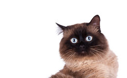 Portrait of a Siamese cat Royalty Free Stock Photos