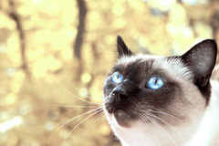 Portrait of a Siamese cat on a yellow autumn background. Selecti Royalty Free Stock Photography