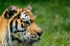 Portrait of Siberian Amur tiger Panthera Tigris Tigris in Summer royalty free stock photo