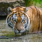 Portrait of Siberian Amur tiger Panthera Tigris Tigris in Summer royalty free stock photos