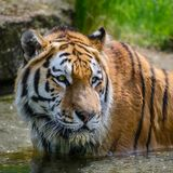 Portrait of Siberian Amur tiger Panthera Tigris Tigris in Summer stock image