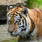 Portrait of Siberian Amur tiger Panthera Tigris Tigris in Summer stock photo