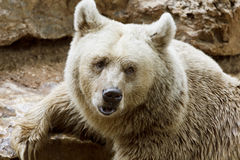 Portrait of Siberian brown bear royalty free stock photo