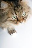 Portrait of Siberian cat Stock Image