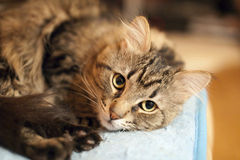 Portrait of siberian cat. Portrait of beautiful siberian cat Royalty Free Stock Photography