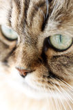 Portrait of Siberian cat Royalty Free Stock Photography