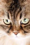 Portrait of Siberian cat Stock Photo