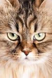 Portrait of Siberian cat Royalty Free Stock Photo