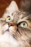 Portrait of Siberian cat Stock Photo