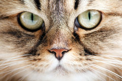 Portrait of Siberian cat Royalty Free Stock Image