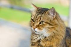 Portrait of Siberian cat. Outdoor portrait of beautiful Siberian cat Stock Photos