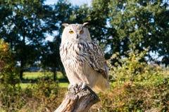 Portrait of Siberian eagle owl, Bubo Bubo sibiricus, perching on. Portrait of Siberian eagle owl, Bubo Bubo sibiricus, sitting on tree trunk in autumn Royalty Free Stock Photo