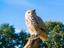 Portrait of Siberian eagle owl, Bubo Bubo sibiricus, perching on. Tree trunk in autumn Royalty Free Stock Images