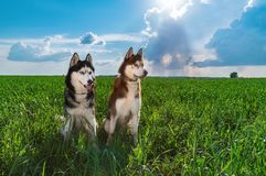 Portrait siberian huskies dogs. Two cute happy husky dogs evening portrait on the background green grass and blue sky. stock photo