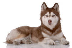 Portrait of Siberian Husky Royalty Free Stock Photo