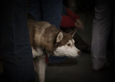 Portrait of siberian husky Stock Photography