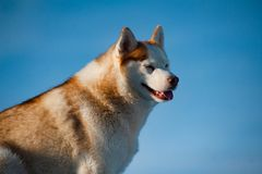 Portrait of siberian husky stock photos