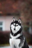 Portrait of Siberian Husky. Black and white color in outdoor Royalty Free Stock Images