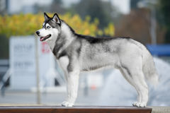 Portrait of Siberian Husky. Black and white color in outdoor Stock Photo