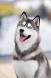 Portrait of Siberian Husky. Black and white color in outdoor Royalty Free Stock Photo