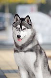 Portrait of Siberian Husky. Black and white color in outdoor Stock Images