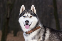 Portrait of Siberian Husky black and white color. In outdoor stock photos