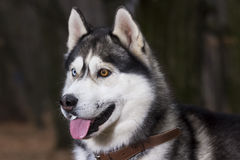 Portrait of Siberian Husky black and white color. In outdoor stock images