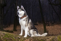 Portrait of Siberian Husky black and white color. In outdoor stock photo