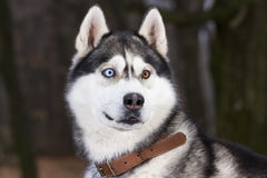 Portrait of Siberian Husky black and white color. In outdoor Royalty Free Stock Photo