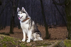 Portrait of Siberian Husky black and white color. In outdoor Royalty Free Stock Photos