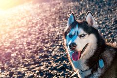 Portrait of Siberian husky with blue eyes. Beautiful husky dog sitting illuminated by the warm evening light setting sun. Portrait of Siberian husky with blue stock photography