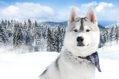 Portrait of Siberian husky Royalty Free Stock Photos