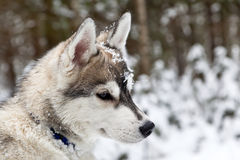 Puppy of Siberian Husky Dog Stock Images