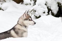 Puppy of Siberian Husky Dog Stock Photography