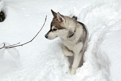 Puppy of Siberian Husky Dog Royalty Free Stock Photo