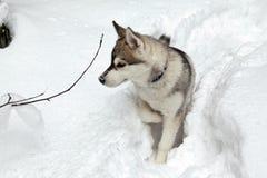 Puppy of Siberian Husky Dog Royalty Free Stock Photo