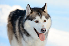 Portrait of the Siberian Husky dog black and white color with brown eyes. Winter view. Stock Images