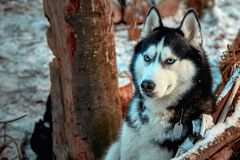 Portrait Siberian husky dog with blue eyes. Thoughtful dog sits in the winter forest. Beautiful portrait for concept design. royalty free stock photo