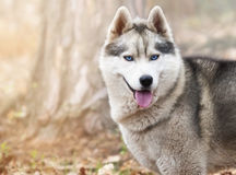 Portrait Siberian husky Stock Photos