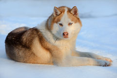 Portrait of the Siberian Husky dog brown color with blue eyes. Winter view. Royalty Free Stock Photos