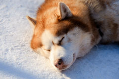 Portrait of the Siberian Husky dog brown colour. Winter view. Stock Photo