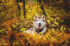 Portrait of siberian Husky dog lying in the bright fall forest at sunset. Portrait of beautiful and happy siberian Husky dog lying in the bright fall forest royalty free stock images