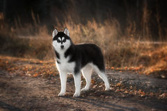 Portrait of Siberian Husky Royalty Free Stock Images