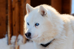 Portrait of the Siberian Husky dog white color with blue eyes Royalty Free Stock Images