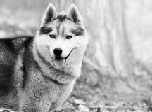 Portrait Siberian husky Stock Photography