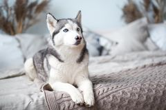 Husky dog at home in the bed of the owner. stock images