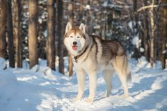 Portrait of Siberian Husky looks like a wolf in the winter forest. Husky dog is standing on the snow at sunset. Portrait of Siberian Husky looks like a wolf in royalty free stock image