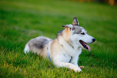 Portrait of Siberian Husky lying in the green grass Royalty Free Stock Photo