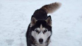 Portrait of Siberian husky outdoors in snow stock photos