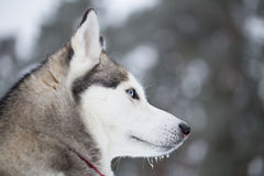 Portrait of a Siberian Husky in profile. Royalty Free Stock Photo